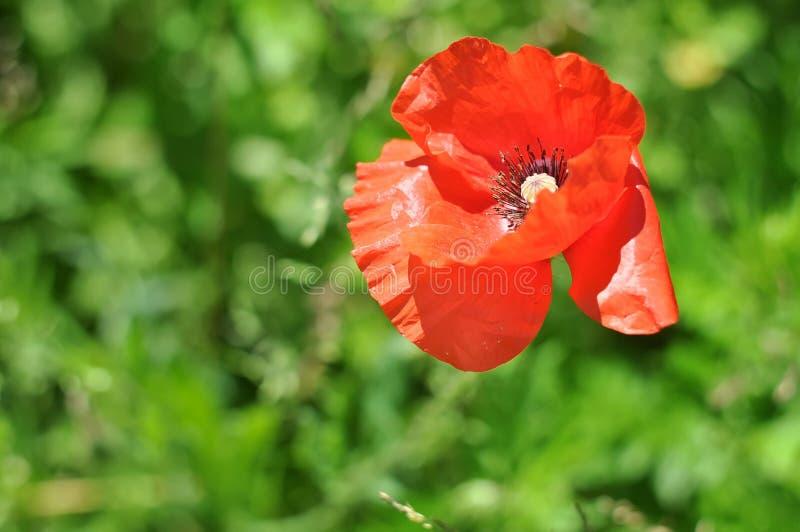 Papavero rosso su un fondo verde Papavero decorativo sul loro cottage di estate Bella freschezza del papavero Papavero, movimenti immagine stock libera da diritti