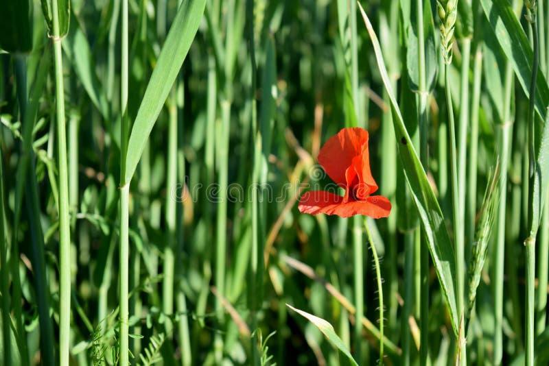 Papavero rosso in un campo verde immagini stock libere da diritti