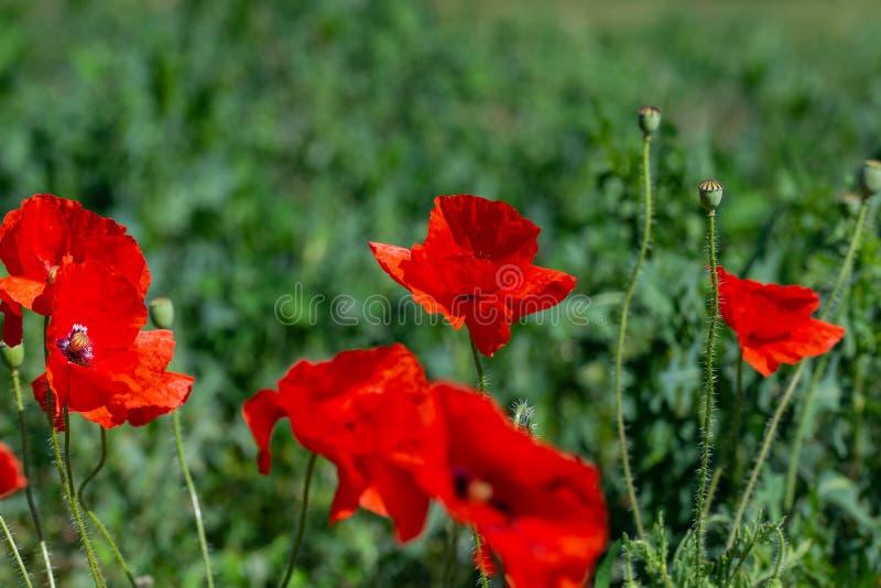 Papavero selvatico dei fiori un giorno soleggiato nel prato fotografie stock