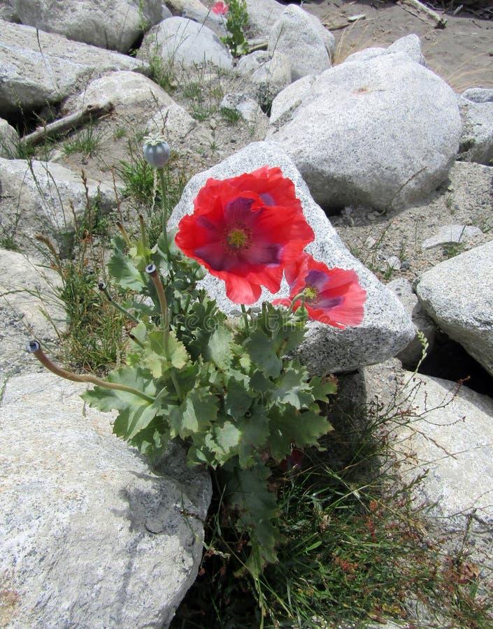 Papavero sulle rocce a Garry Park Richmond, BC Canada immagini stock libere da diritti