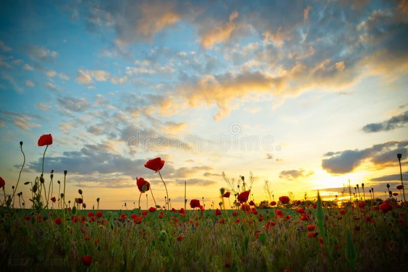Papavers bij zonsondergang royalty-vrije stock foto's