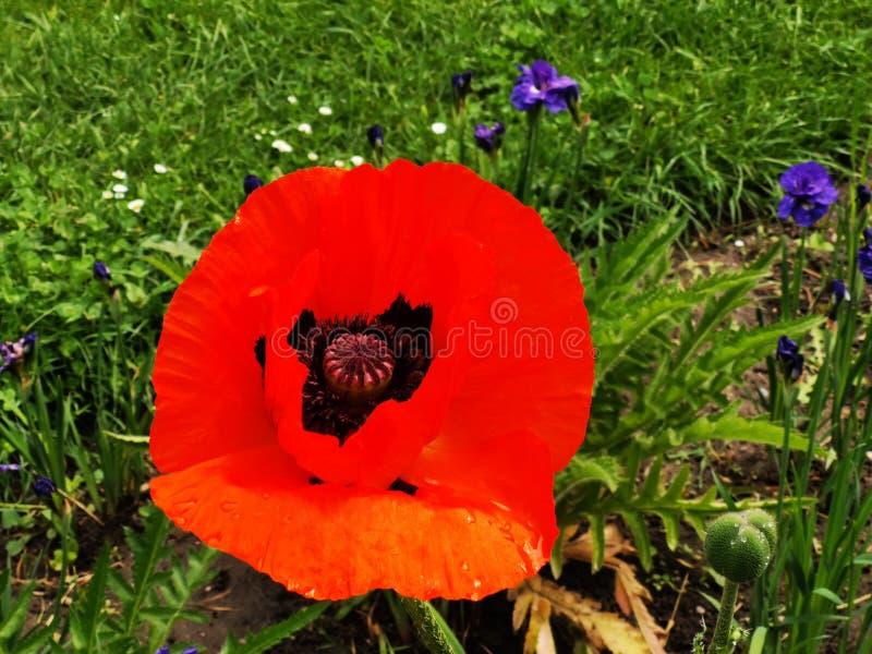 Papavers in de tuin en de blauwe bloemen royalty-vrije stock foto's