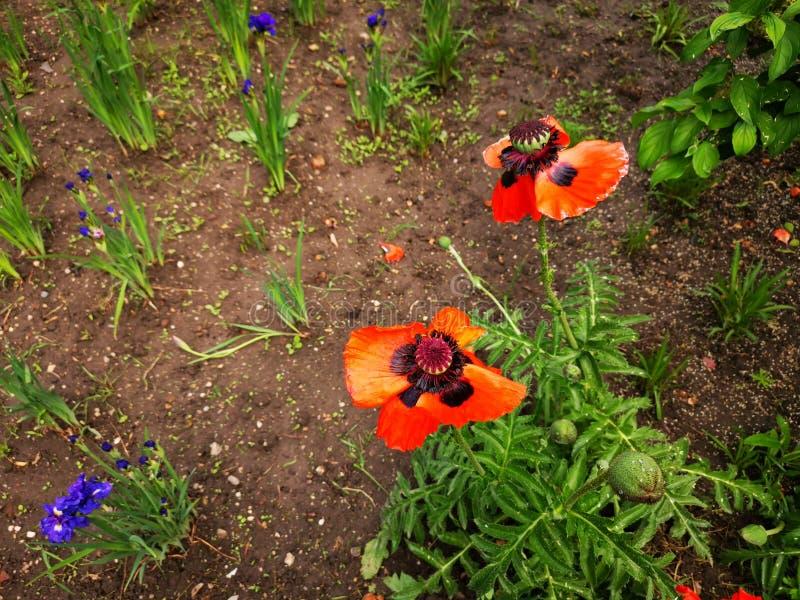 Papavers in de tuin en de blauwe bloemen royalty-vrije stock foto