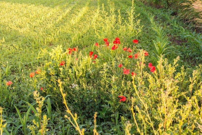 Papavers die op de cornfield hoek, een zonsondergang bij het platteland bloeien royalty-vrije stock fotografie