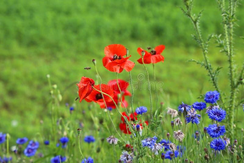 Papavers en wilde bloemen royalty-vrije stock afbeeldingen