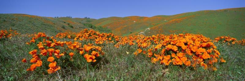 Papavers en Wildflowers, Antilopevallei, Californië royalty-vrije stock afbeelding