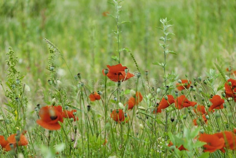 Papavers en wildflowers in een weide royalty-vrije stock afbeeldingen
