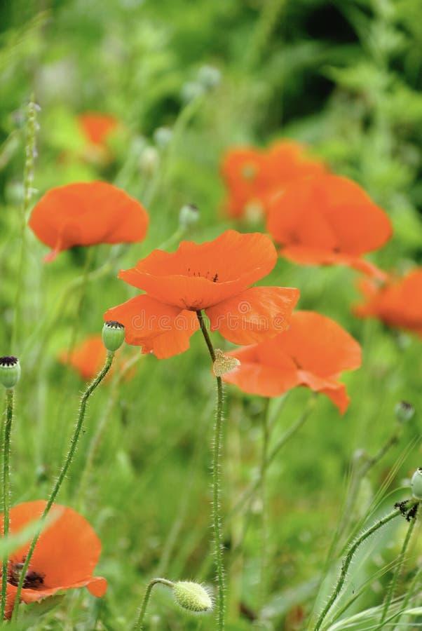 Papavers en wildflowers in een weide stock foto