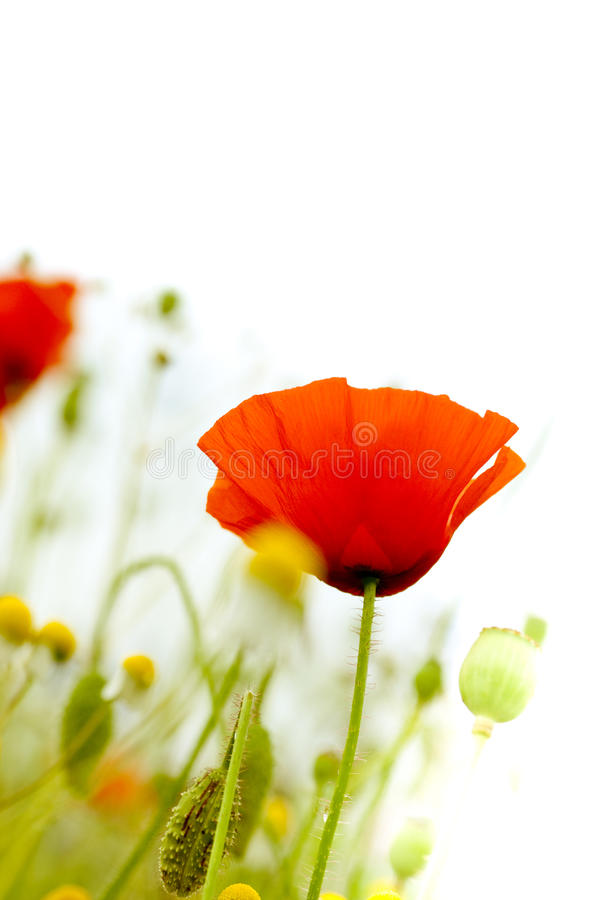 Papavers op wit - Bloemen stock afbeeldingen