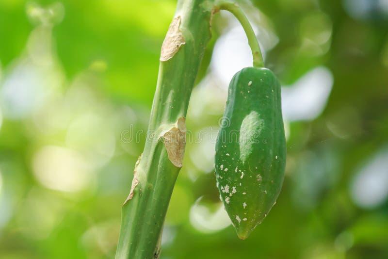 Papaya è un frutto con caratteristiche longitudinali immagine stock libera da diritti