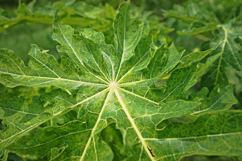 Papaya αιτίες ασθενειών από τον ιό στοκ εικόνες