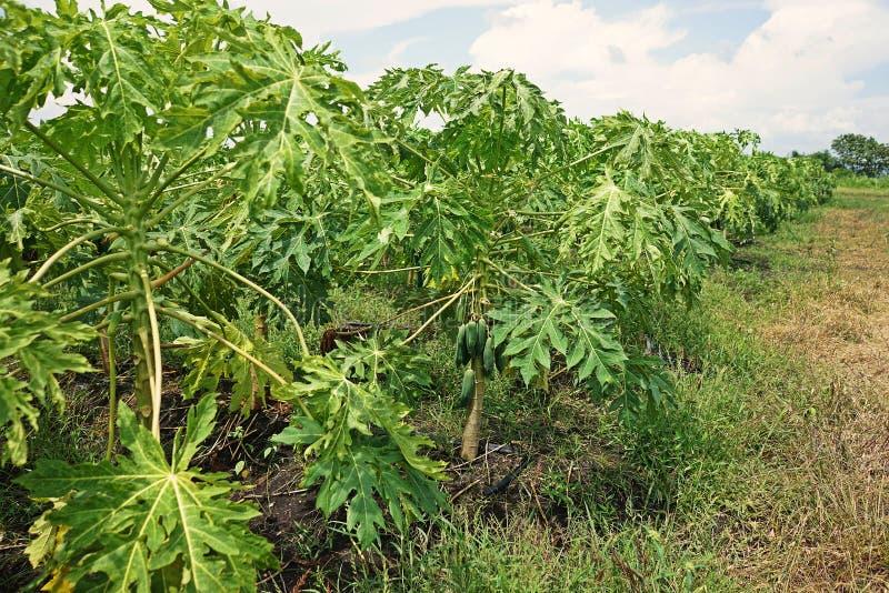 Papaya αιτίες ασθενειών από τον ιό στοκ φωτογραφίες με δικαίωμα ελεύθερης χρήσης