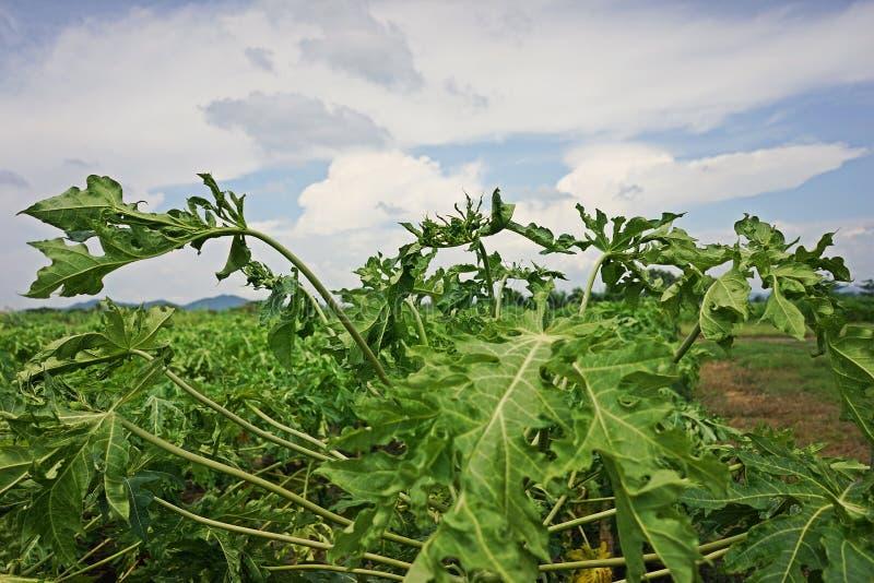 Papaya αιτίες ασθενειών από τον ιό στοκ φωτογραφίες