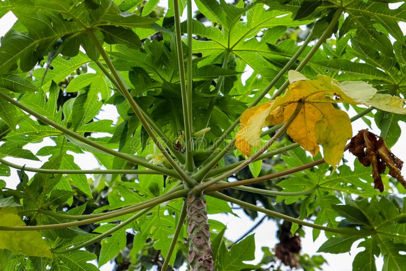 Papaya κλάδος δέντρων με το φύλλο στοκ εικόνα