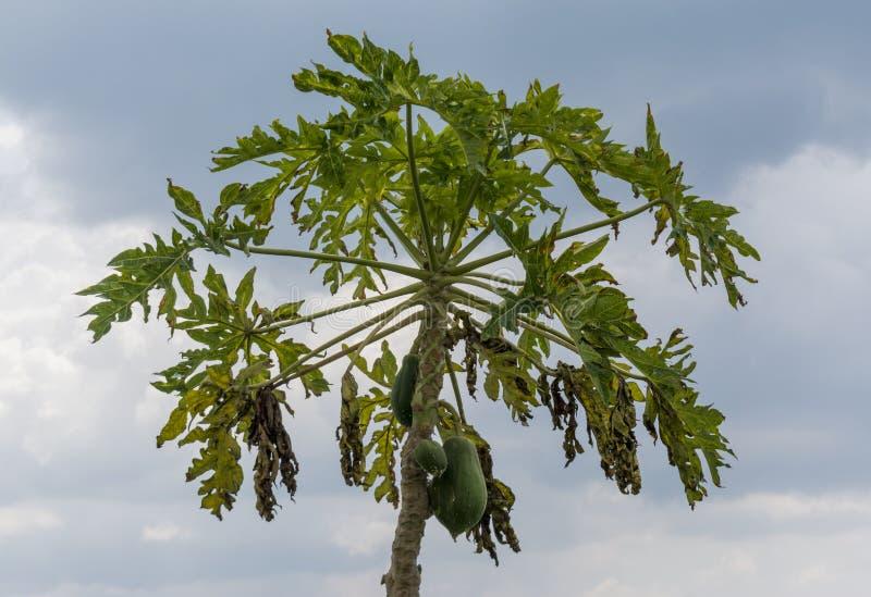 Papaya κορώνα δέντρων με τα φρούτα σε το στοκ φωτογραφίες με δικαίωμα ελεύθερης χρήσης