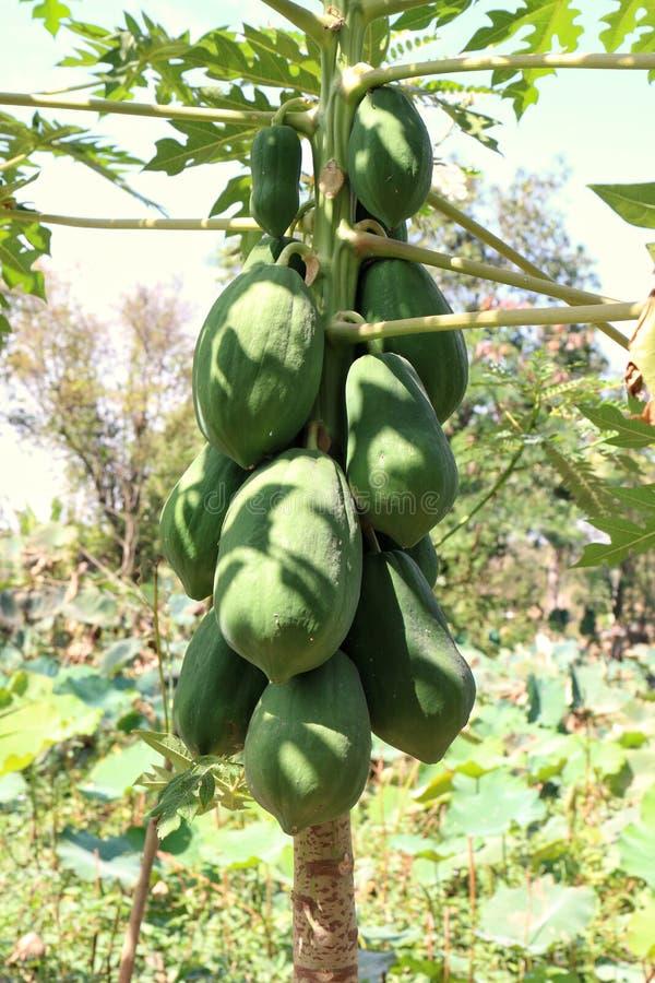 Papaya, Papaya στα οργανικά φρούτα δενδροφυτειών, Papaya papaya συστατικών ταϊλανδική ειδικότητα υπογραφών της Ασίας τροφίμων σαλ στοκ φωτογραφία