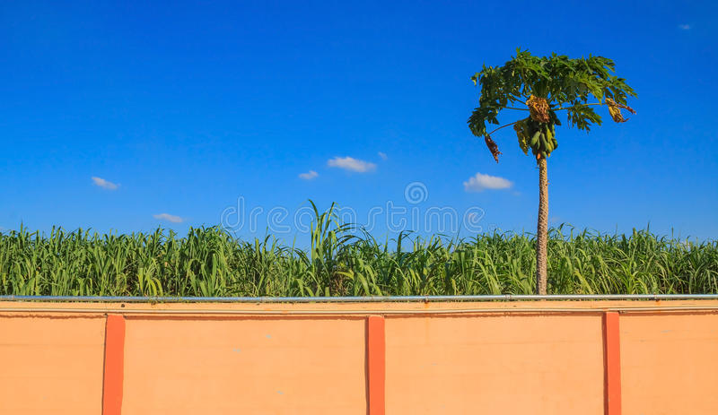papaya της Κένυας isiolo βόρειο δέντρο στοκ εικόνα
