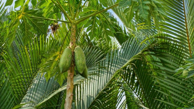 papaya της Κένυας isiolo βόρειο δέντρο στοκ φωτογραφίες με δικαίωμα ελεύθερης χρήσης