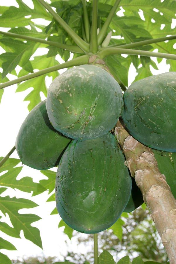 Download Papaya stock photo. Image of fruit, papaya, green, trunk - 12130212