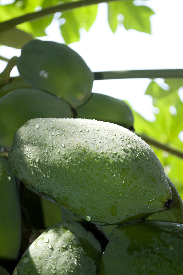 Download Papaya stock photo. Image of papaw, green, ripe, leaves - 21035382