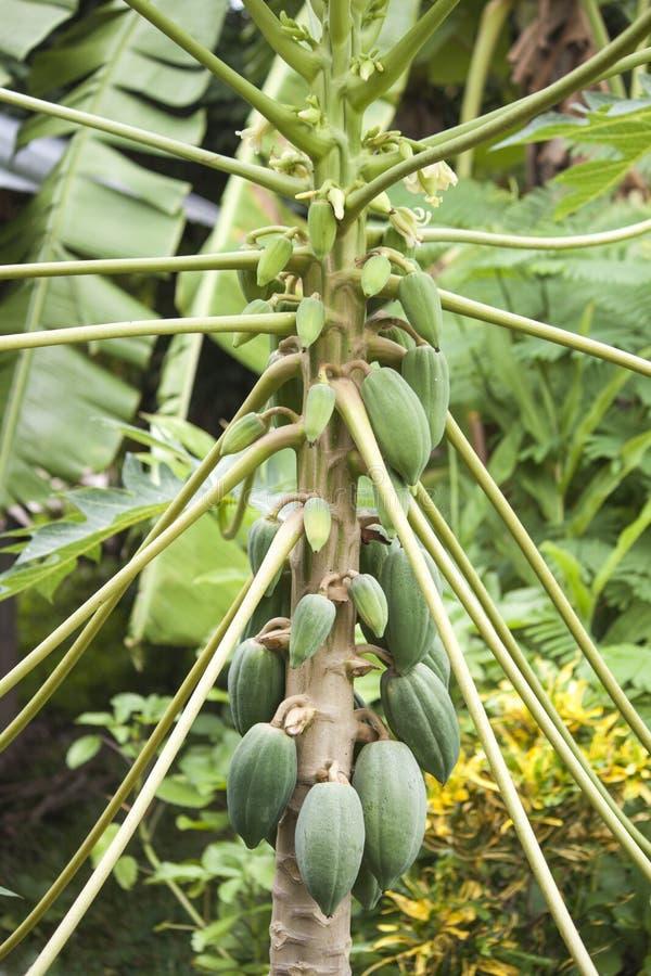 Papaya auf dem Papayabaum stockfotografie