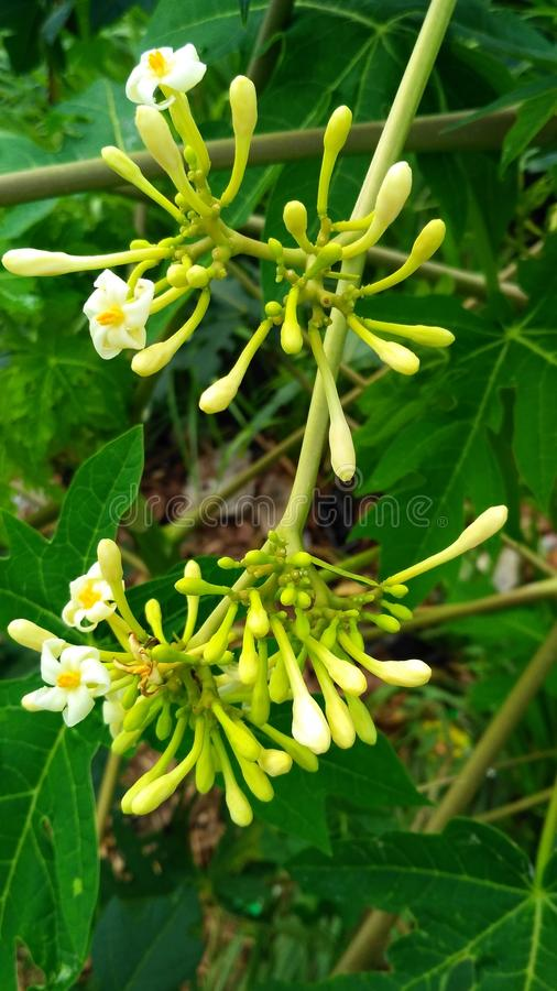 papaya flower hanging royalty free stock images