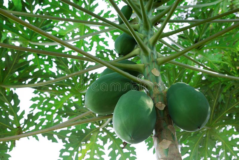 Papaya fruit on the tree royalty free stock photography