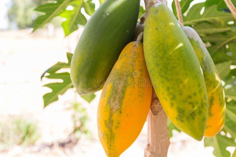 Papaya fruit on tree trunk. Green and yellow papaya fruit on tree trunk royalty free stock photography