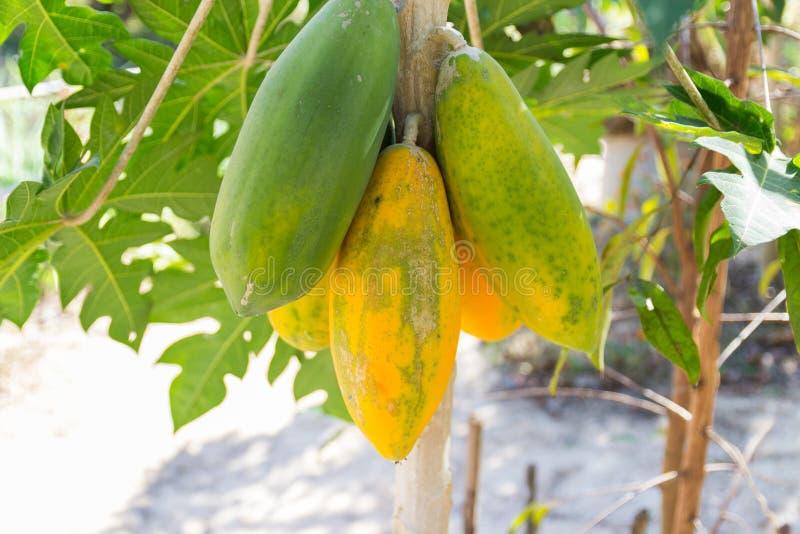 Papaya fruit on tree trunk. Green and yellow papaya fruit on tree trunk stock photos