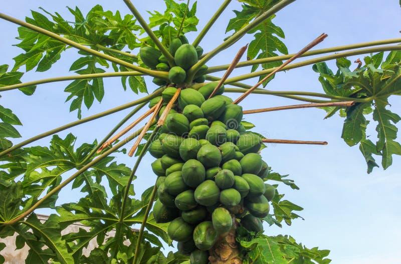 Papaya garden stock image. Image of atkins, healthcare - 90073171