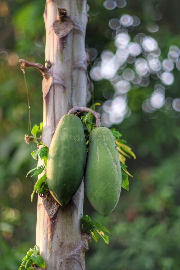 Papaya ist ein gesundes stockbilder