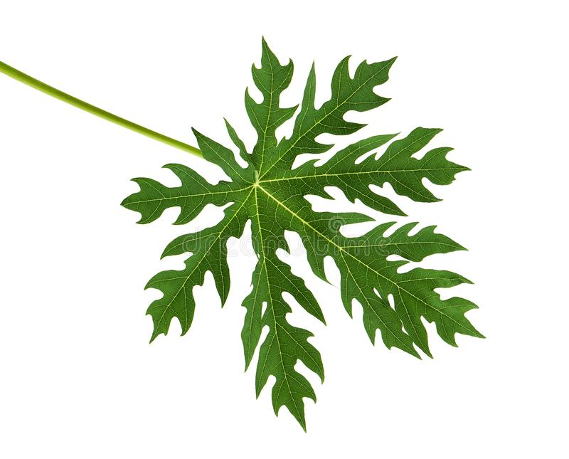Papaya leaf, Green papaya leaves, Tropical foliage isolated on white background with clipping path stock photography