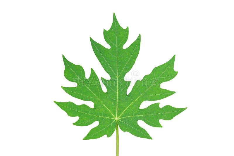 Papaya leaf isolated on white background royalty free stock photos