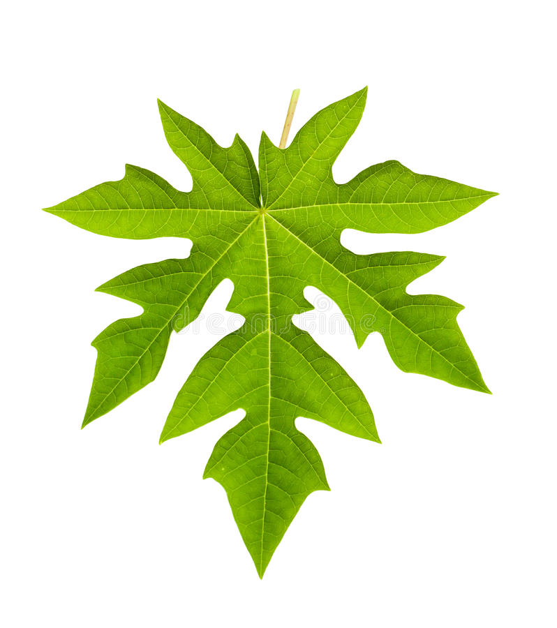 Papaya leaf isolated on white stock photo