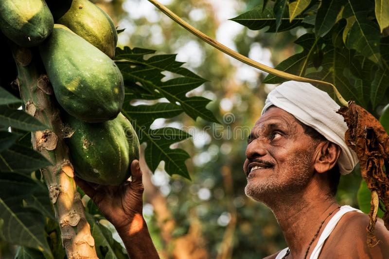 Papaya farmer in kerala stock photo