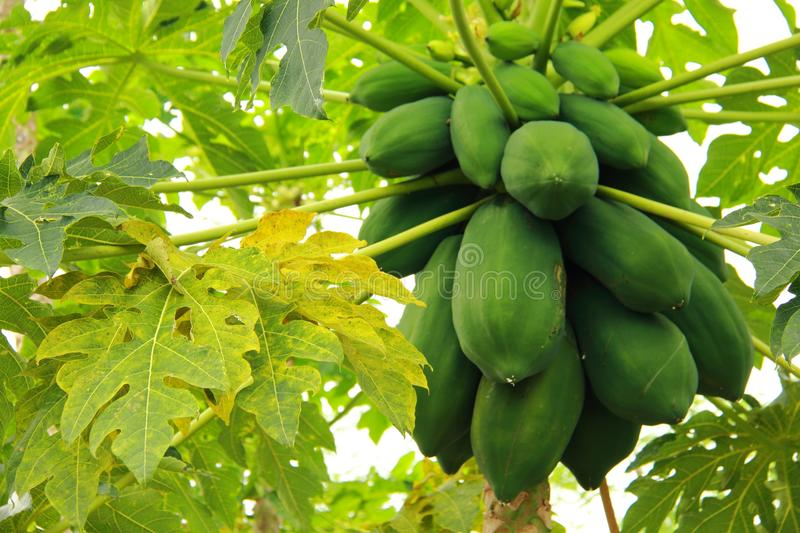 Papaya plant and fruit royalty free stock image