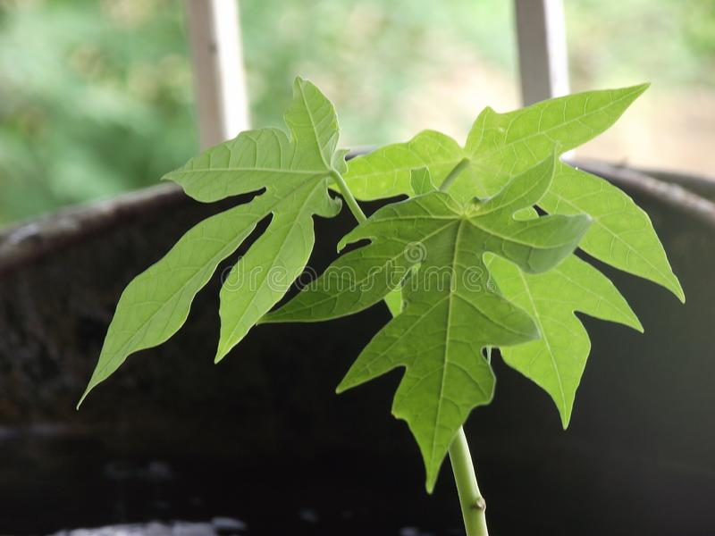 Papaya Plant stock photography