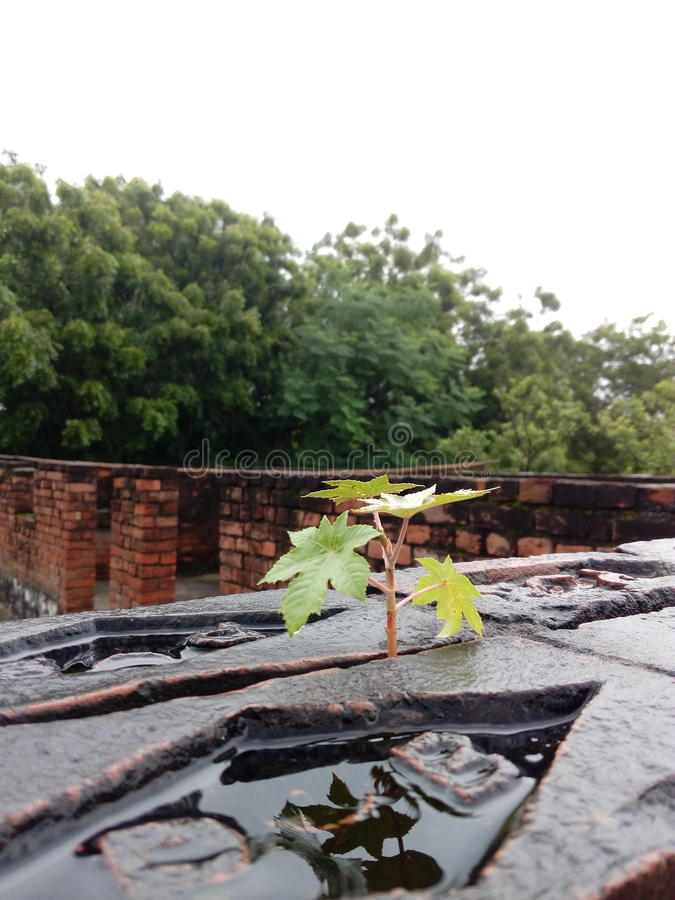Papaya Plant. After Rain Beauty Of nature increases stock images