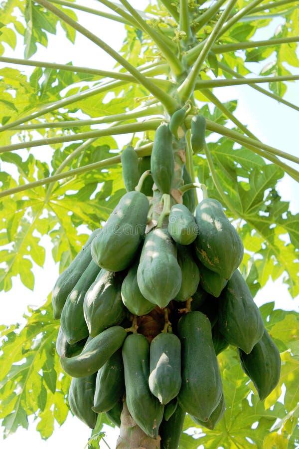 Papaya in South Asia lizenzfreie stockbilder