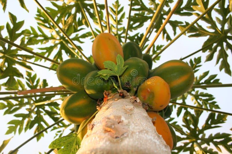 Papaya tree. A different angle of a papaya tree with almost ripe papayas royalty free stock images