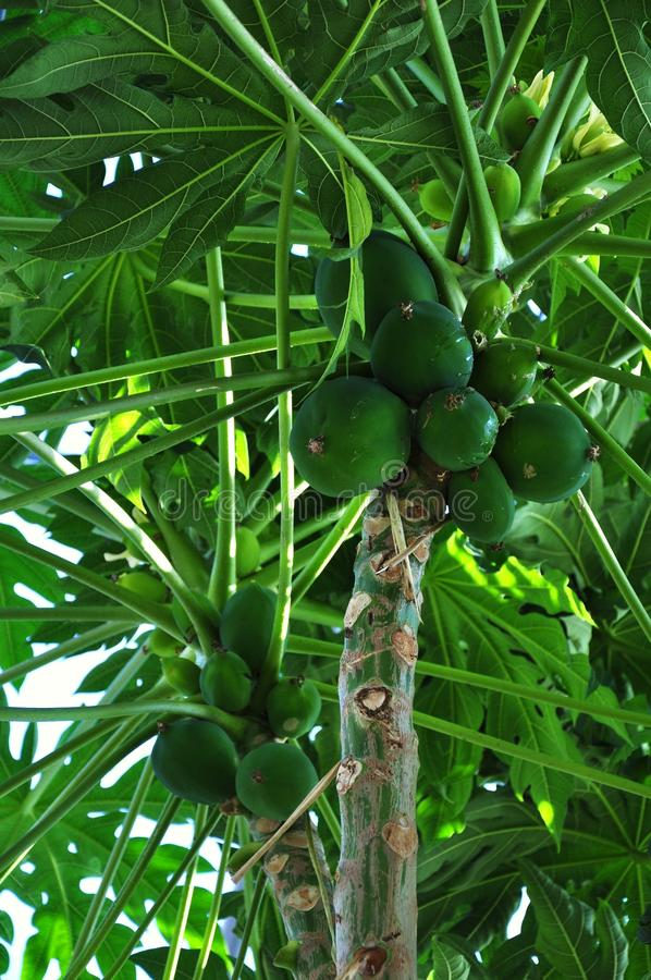 Download Papaya tree stock image. Image of tree, outdoor, health - 23499867