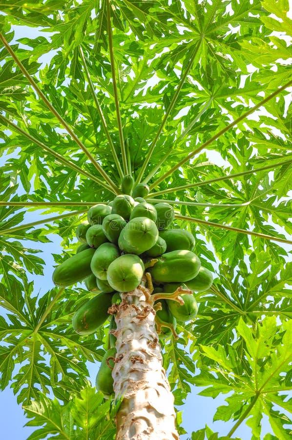 Download Papaya tree stock photo. Image of food, delicious, organic - 25415546