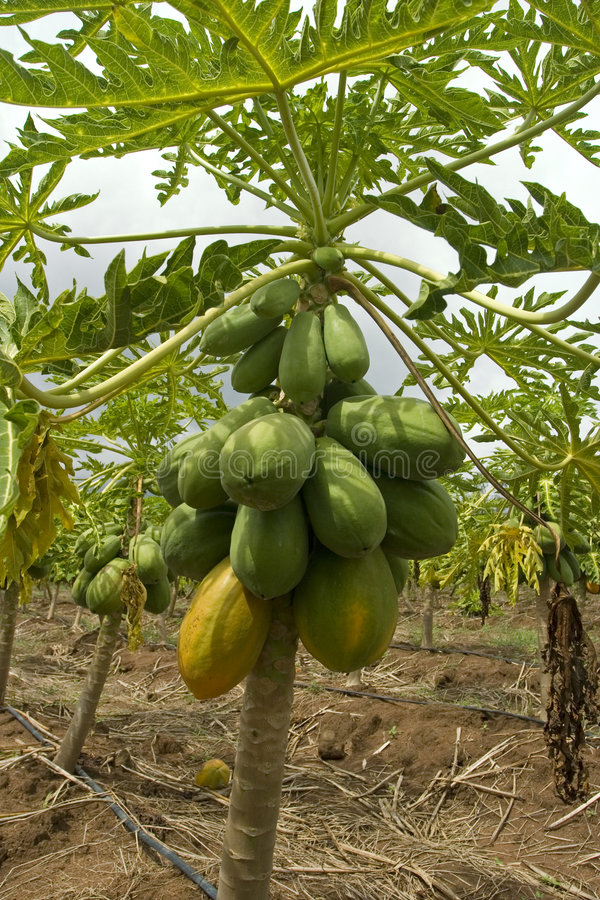Free Papaya Tree Stock Images - 3435694