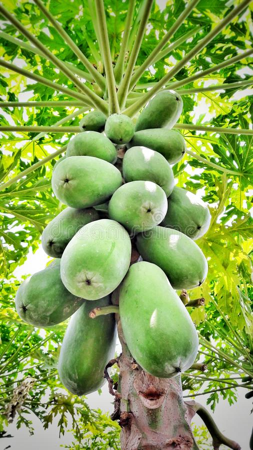Papaya tree stock image