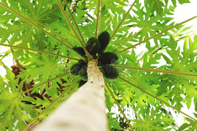 Papaya tree royalty free stock images