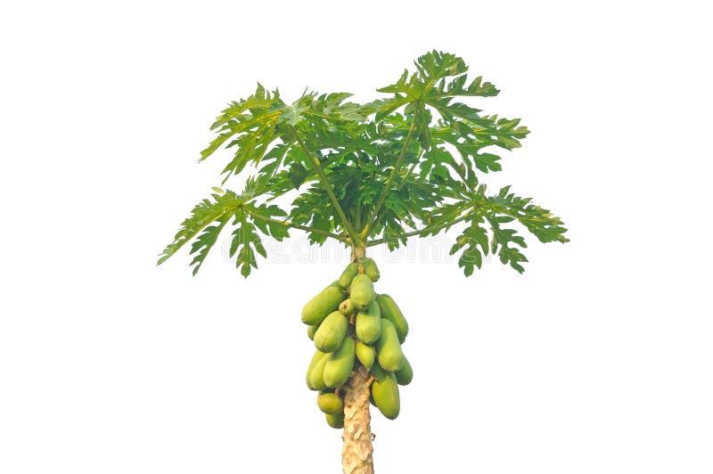 Papaya tree isolated on white background. Tropical fruit royalty free stock photos