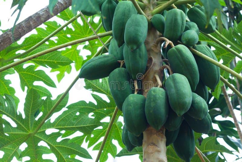 Download Papaya Tree stock photo. Image of vegetables, asia, thailand - 33531742