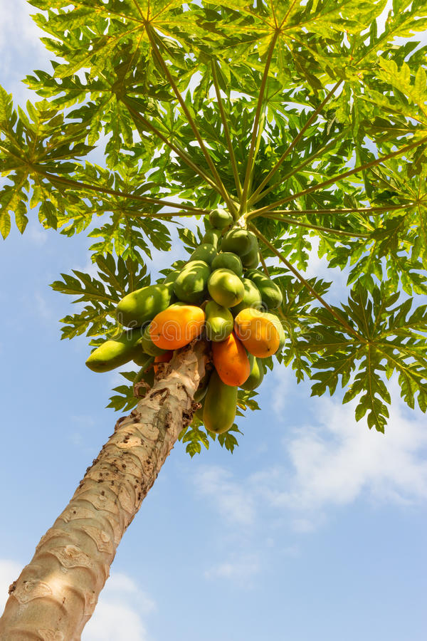 Papaya Tree. stock images