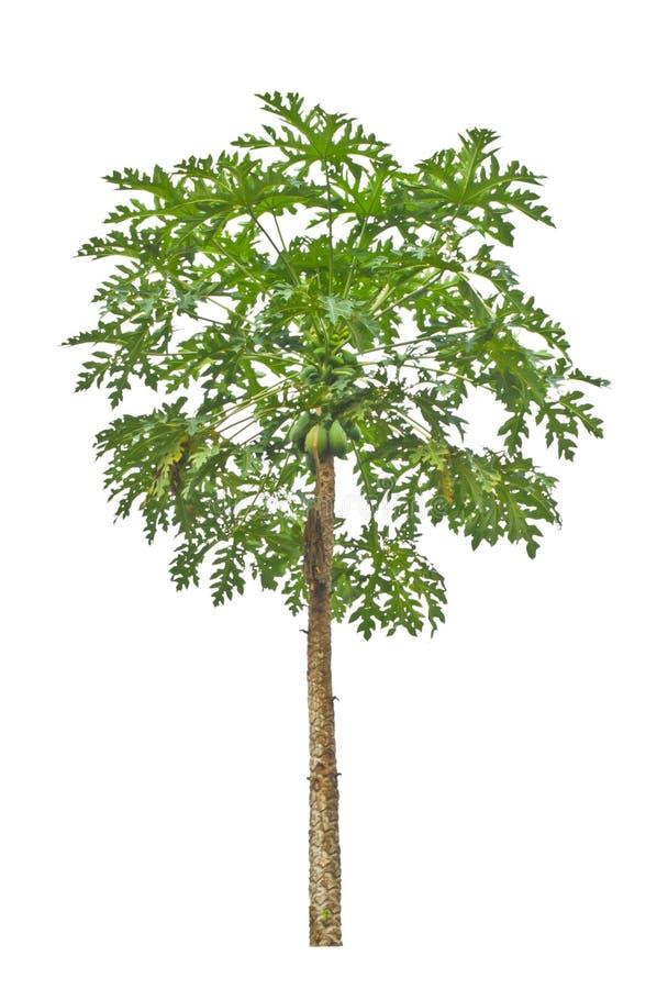 Download Papaya tree. stock image. Image of plant, bush, green - 32219135