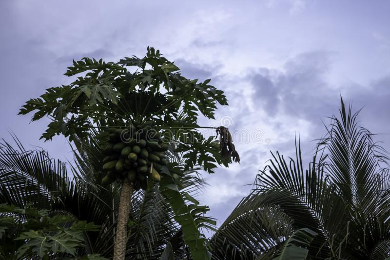 Papaya trees have many effects and coconut trees With a cloud in. Papaya trees have many effects. And coconut trees With a cloud in the back royalty free stock image